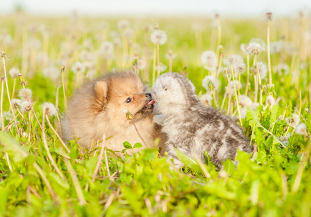 Spitz puppy licking tabby kitten on a summer grass.