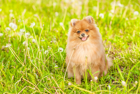 Happy spitz puppy sitting on summer grass. Space for text.