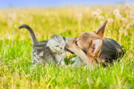 Playful Pembroke Welsh Corgi puppy with tabby kitten on a summer grass. Standard-Bild