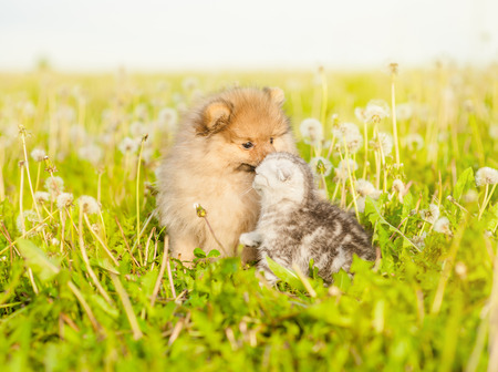Spitz puppy sniffing tabby kitten on a summer grass.