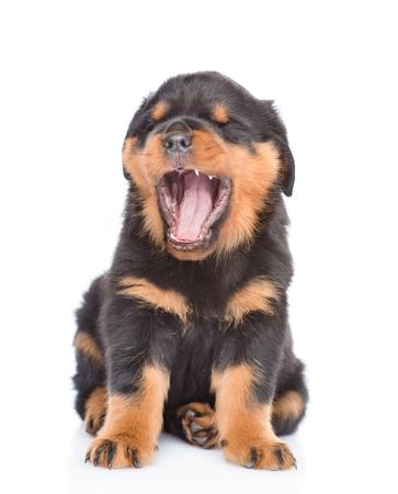 Yawning puppy. isolated on white background.