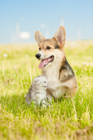 Pembroke Welsh Corgi puppy sitting with tabby kitten on a summer grass and looking away. Space for text.