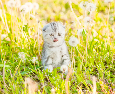 Small tabby kitten sitting on a dandelion field and licking lips.
