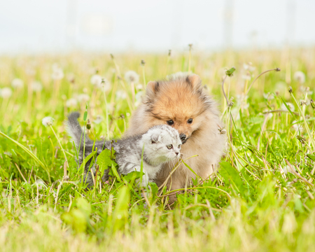 playful spitz puppy and kitten on summer grass together.