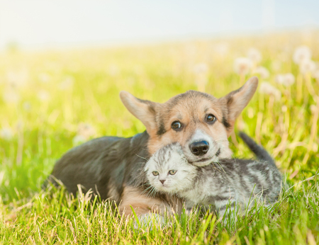 Playful Pembroke Welsh Corgi puppy embracing tabby kitten on a summer grass. Space for text.