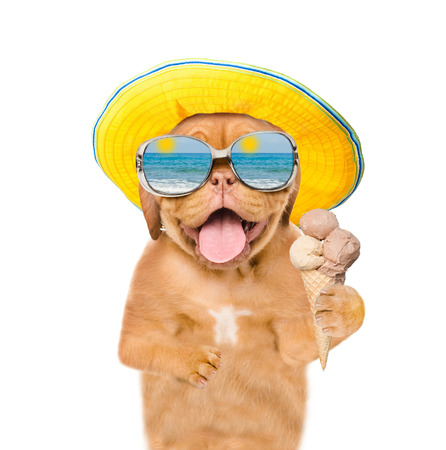Funny summer dog  in sunglasses and hat eating ice cream. isolated on white background. Stock Photo