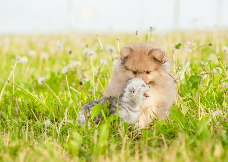 Spitz puppy sniffing and sniffing tabby kitten on a summer grass. Space for text.