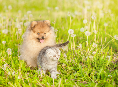 tabby kitten and spitz puppy on summer grass. Space for text. Stock Photo
