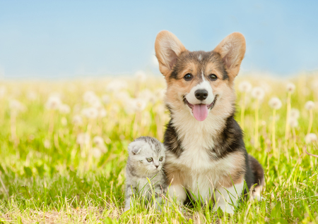 Corgi puppy sitting with tabby kitten on a summer grass. Space for text.