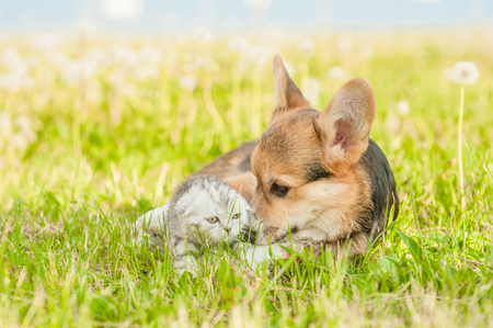 Playful corgi puppy hugging and kissing a kitten  on a summer grass.