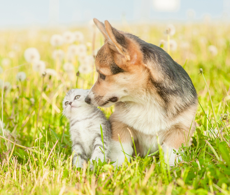 Pembroke Welsh Corgi puppy sniffing a kitten  on a summer grass.