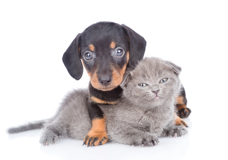 Cute dachshund puppy embracing kitten. Isolated on white background. Foto de archivo - 107756848
