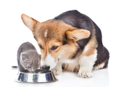 corgi puppy and kitten drink water together from one bowl. isolated on white background.