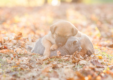 mongrel puppy and tiny kitten sleep together on autumn leaves at sunset.
