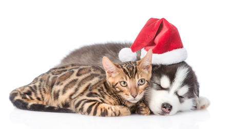 Siberian Husky puppy in santa hat sleep with bengal kitten. isolated on white background. Stock Photo