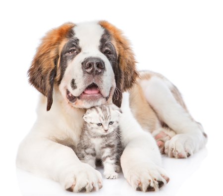 St. Bernard puppy hugging tabby kitten. isolated on white background.