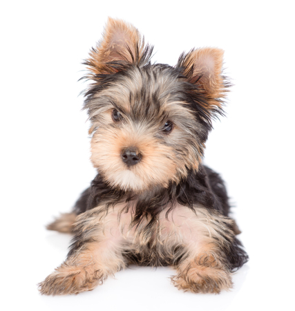 Yorkshire Terrier puppy lying in front view. isolated on white background.