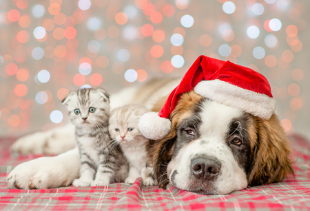 St. Bernard puppy in Christmas and two kittens together. Stock Photo
