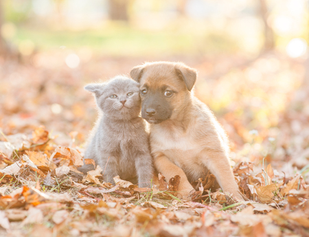 mongrel puppy and tiny kitten stand together on autumn leaves at sunset. Stock Photo