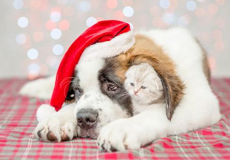 Kitten under ear of Saint Bernard puppy in Christmas hat.