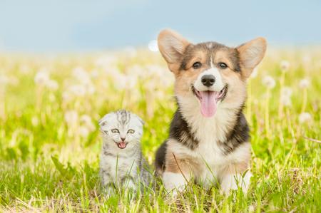Pembroke Welsh Corgi cachorro y gatito atigrado en un césped de verano. Foto de archivo