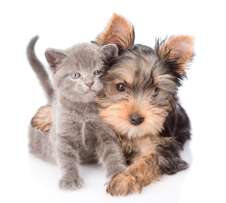 yorkshire terrier hugging little kitten and looking at camera. isolated on white background. Stockfoto