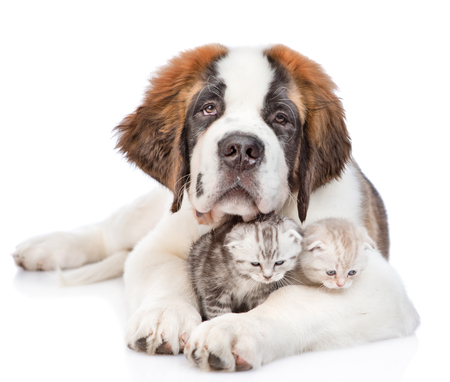 smiling Saint Bernard puppy hugging kittens. isolated on white background. Фото со стока