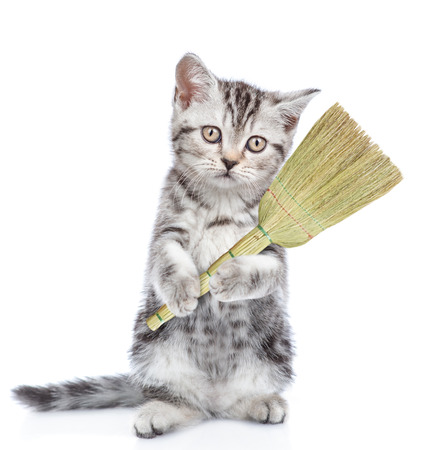 Cleaning concept. Cat holds broom in paws. isolated on white background.