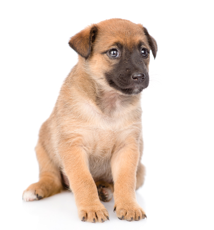 Mongrel puppy sitting. isolated on white background.