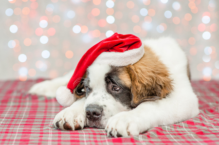 Sad saint Bernard puppy in a Christmas hat.