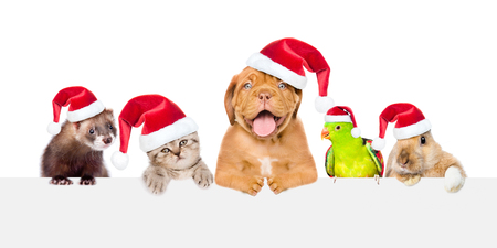 Group of pets in red christmas hats peeking over empty white board. isolated on white background. Space for text.