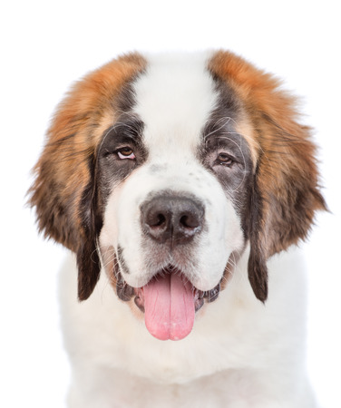 closeup portrait of a St. Bernard puppy. isolated on white background.