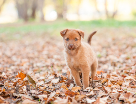 Mongrel puppy on autumn leaves looking at camera. Empty space for text.