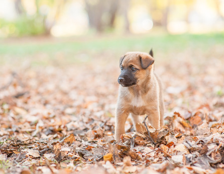 Mongrel puppy on autumn leaves looking away. Empty space for text.
