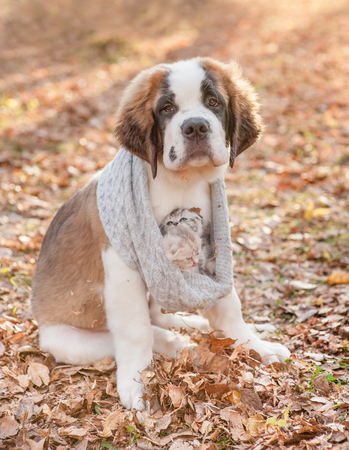 St. Bernard puppy warms kittens in a knitted scarf, walking through the autumn park.