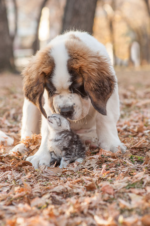 St. Bernard puppy sniffs kitten in autumn park.