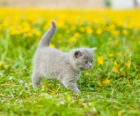 Small kitten walking on green summer grass. Stock Photo