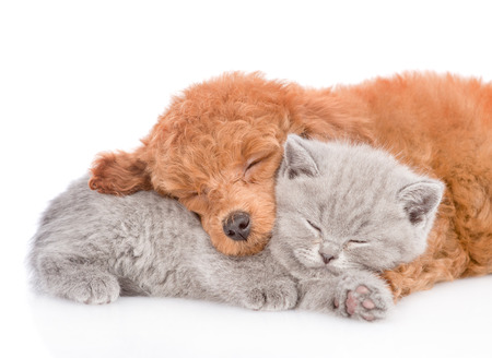 Close up poodle puppy and tiny kitten sleeping together. isolated on white background.