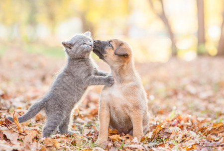mongrel puppy kisses a kitten on autumn leaves.