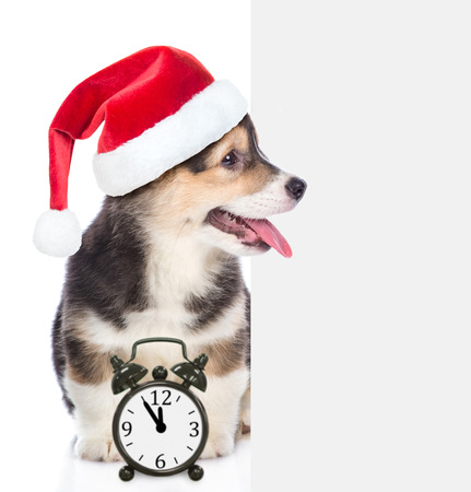 Corgi puppy in red christmas hat sitting and peeking behind empty white board with alarm clock. isolated on white background. Space for text.