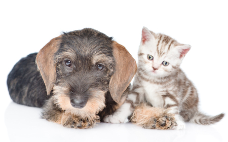 Wire-haired dachshund puppy and tiny kitten sitting together in front view and looking at camera. isolated on white background.