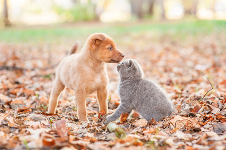 mongrel puppy sniffing a kitten on autumn leaves. Stock Photo