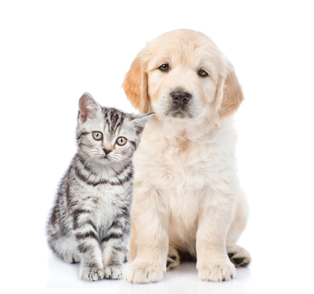 Golden retriever puppy sitting with tabby kitten. isolated on white background.