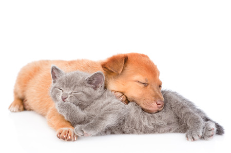 kitten lying with sleeping puppy and washing itself. isolated on white background.