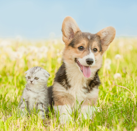 Portrait of a Pembroke Welsh Corgi puppy and tabby kitten on a summer grass.