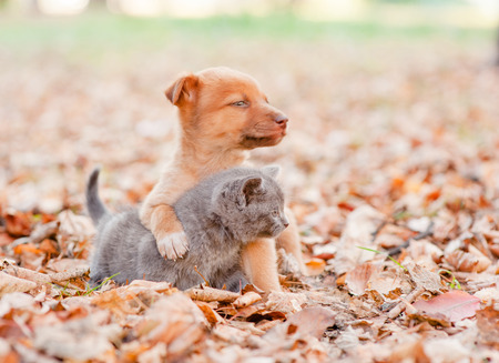 mixed breed puppy hugging a sad kitten on autumn leaves and looking away.