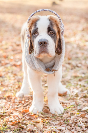 St. Bernard puppy in a scarf and warm headphones in the autumn park.