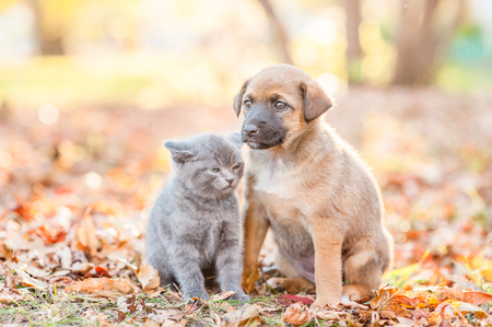 Mixed breed puppy and tiny kitten sitting together on autumn leaves at sunset. Stock Photo
