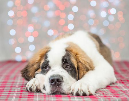 Sad saint Bernard puppy on christmas background.