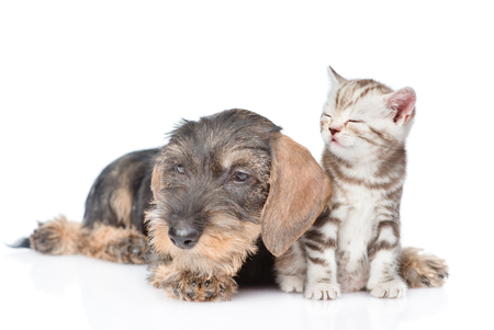 Wire-haired dachshund puppy and sleepy tiny kitten together. isolated on white background.